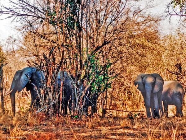 Elephants in the bush Zambia