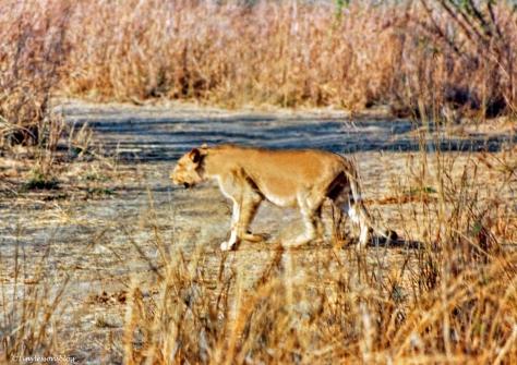 female lion Uganda