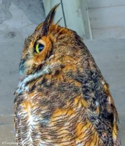 great-horned owl ud26