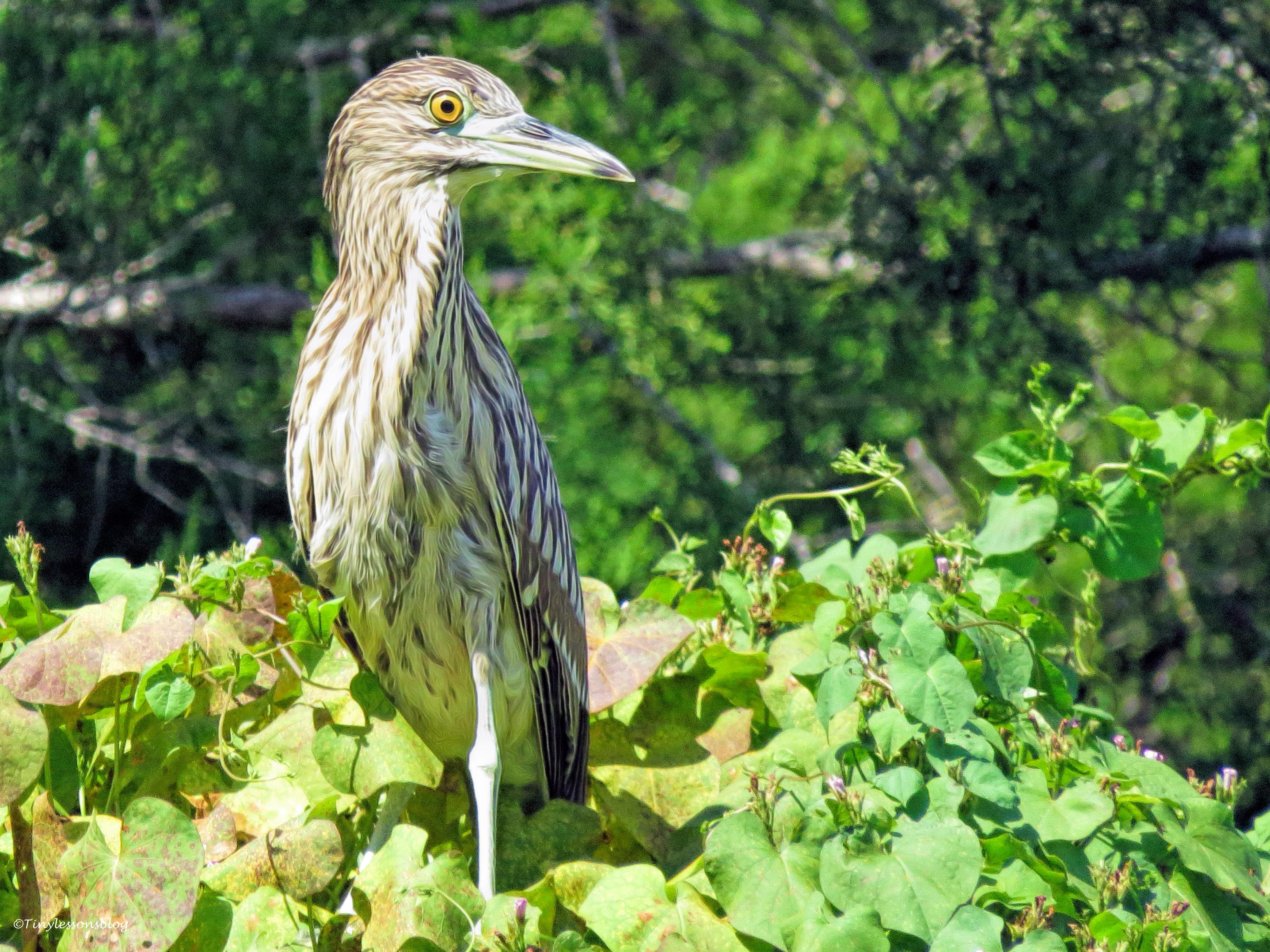 juvenile night heron ud26