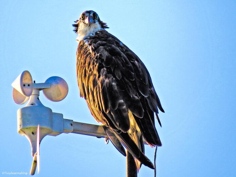 mama osprey at sunrise ud26