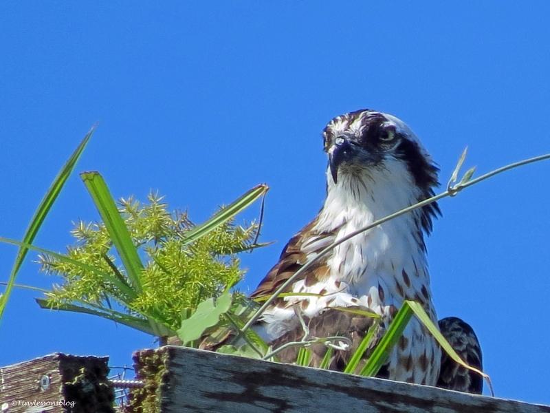mama osprey closeup ud26