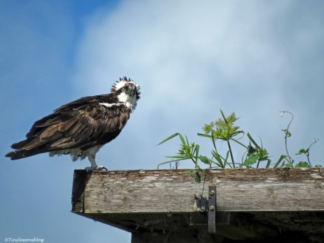 mama osprey in the nest UD26