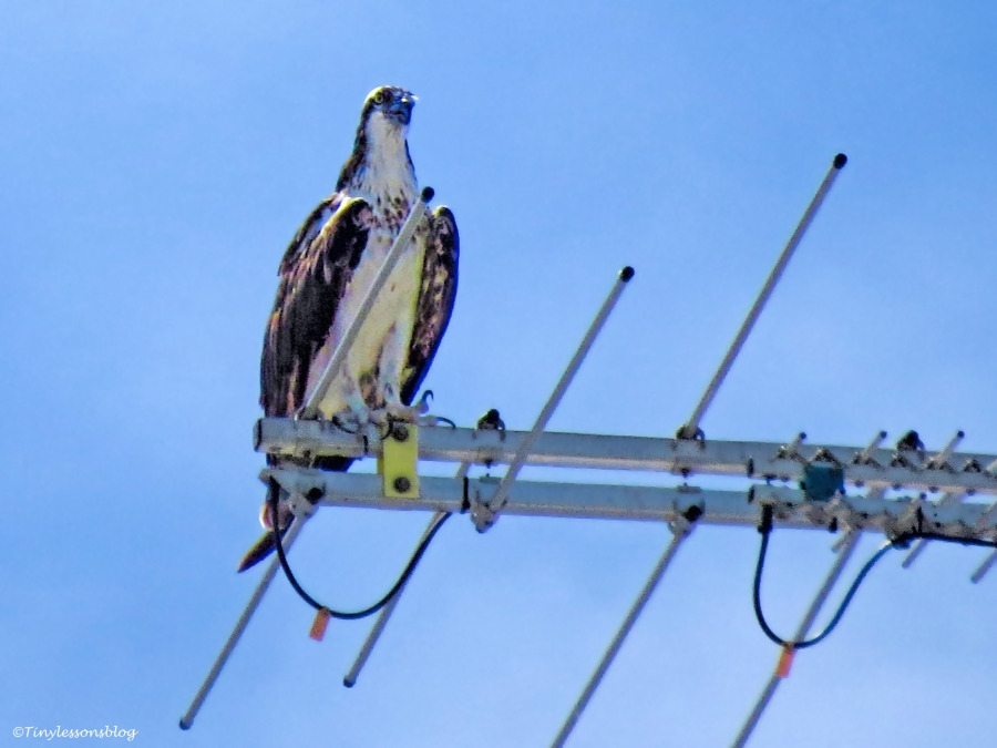 mama osprey on the TV antenna ud26