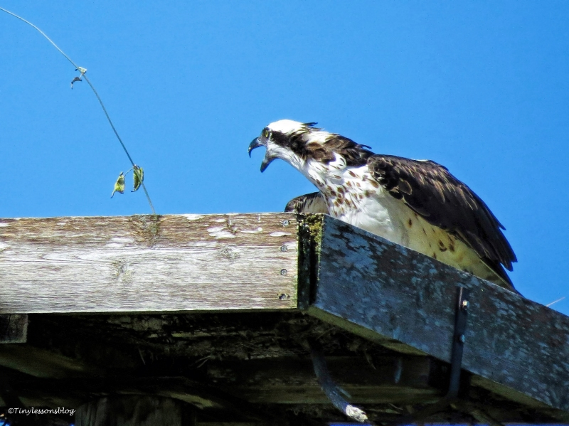 mama ospreys warning call Sand Key Park Clearwater Florida