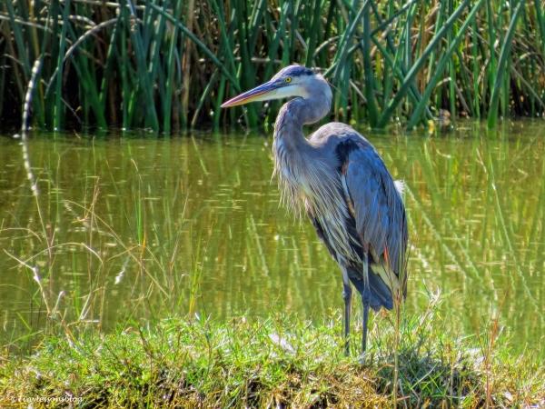 mayor older blue heron ud26