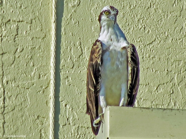 papa osprey at sunrise ud26