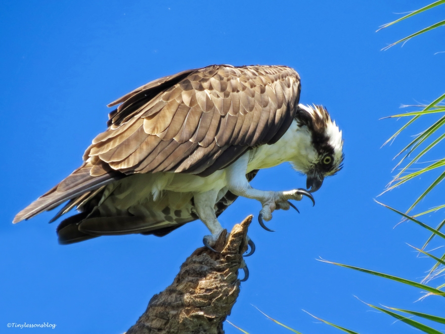 male osprey cleaning his talons Sand Key Park Clearwater Florida