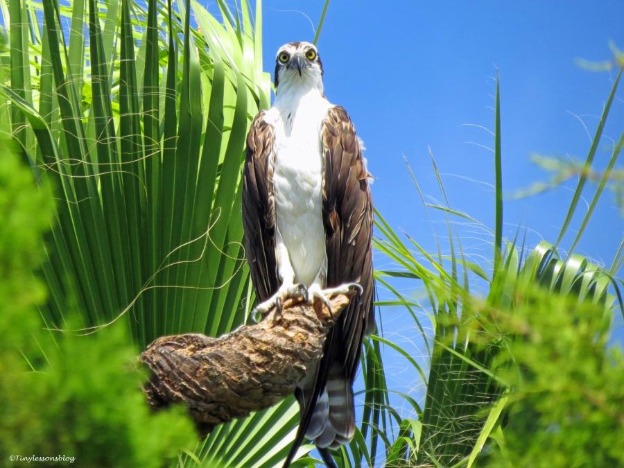papa osprey ud26