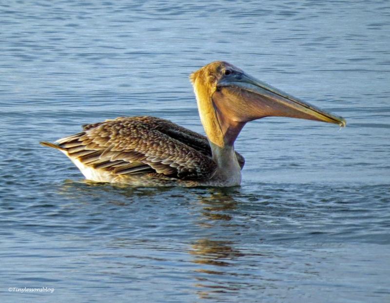 pelican at sunrise 2 ud26
