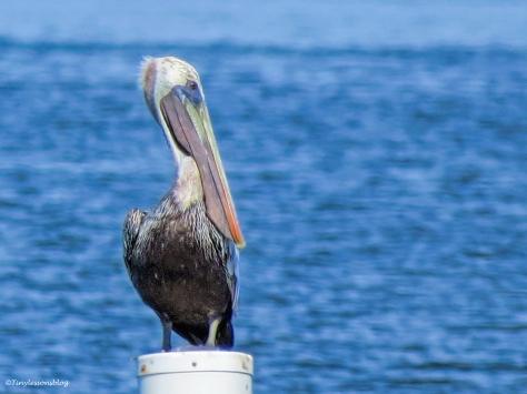 pelican ud26