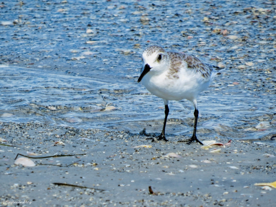 sanderling ud26
