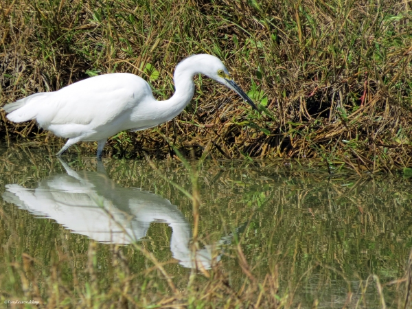 snowy egret Sand Key Park Clearwater Florida