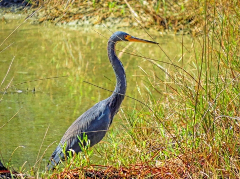 tricolored heron Sand Key Park Clearwater Florida