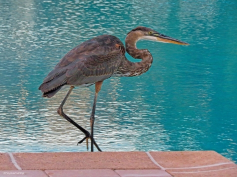young blue heron at the pool ud26