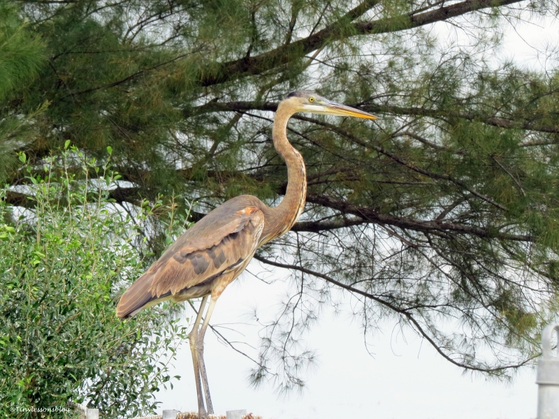 young great blue heron at fishing pier Sand Key Park Clearwater Florida