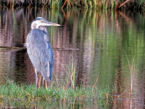 youngr Great Blue Heron ud25 b