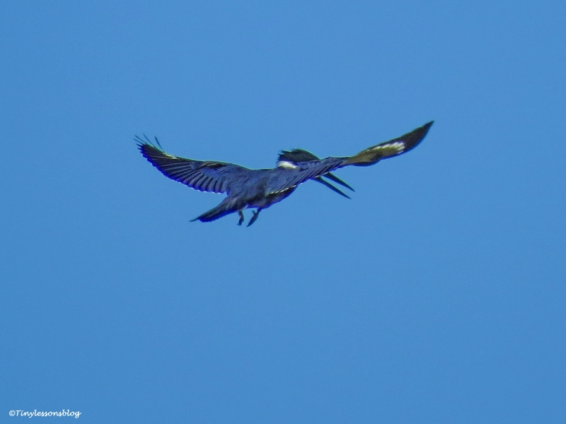 belted kingfisher hovers over the salt marsh ud31