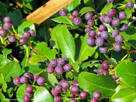 berries 2 at salt marsh ud31