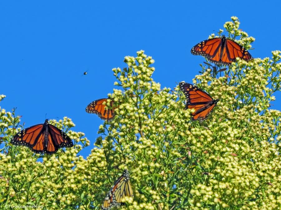 Butterfly tree BX