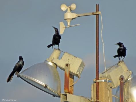 fish crows