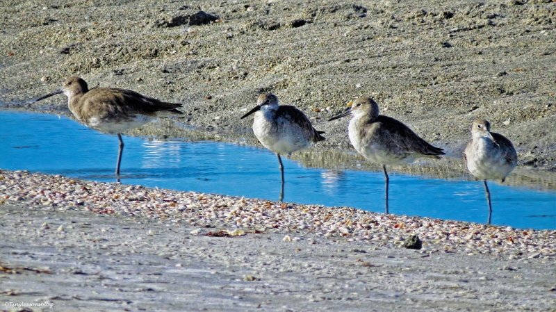 four willets on one leg