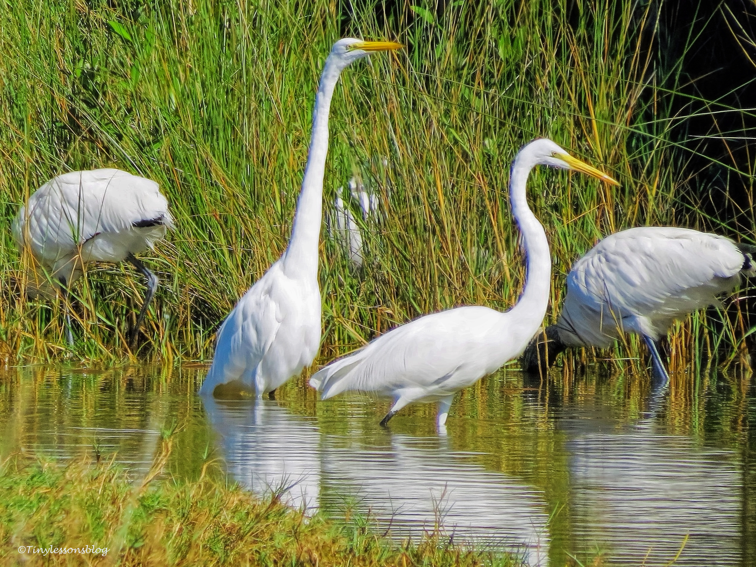 great egrets and wood storks