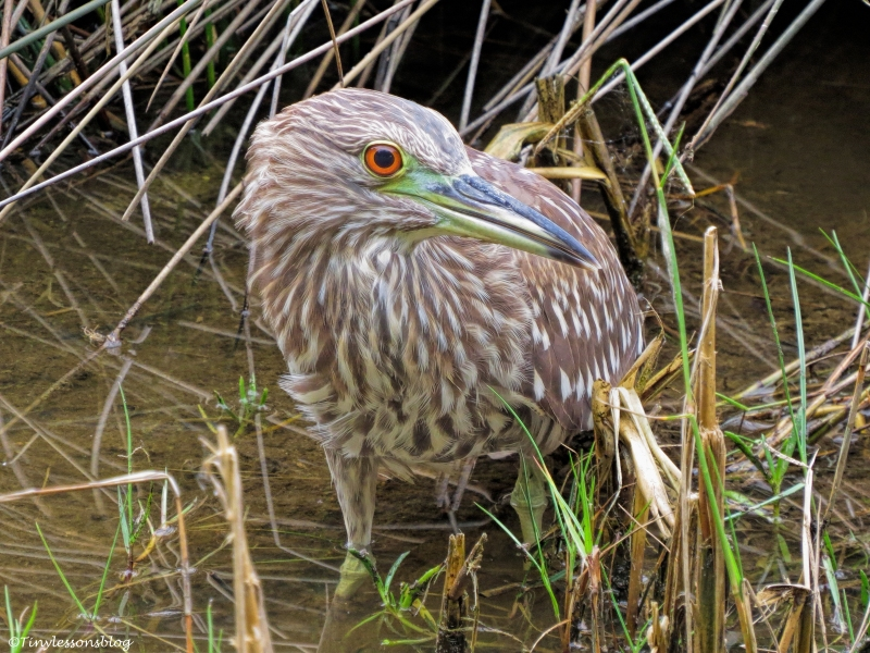 juvenile black=crowned night heron ud32