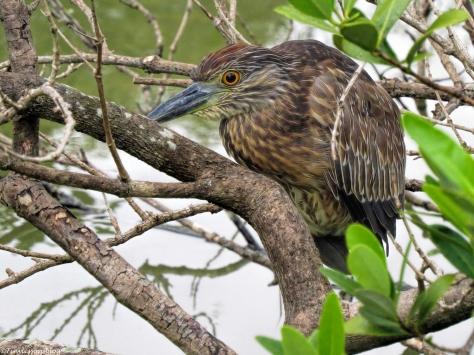 juvenile night heron ud32