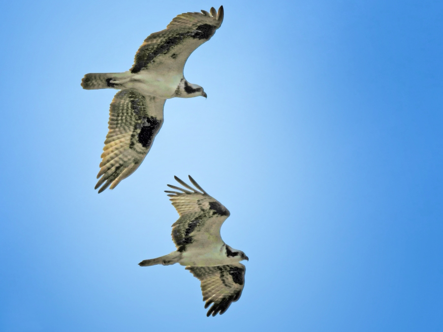 male and female osprey flying together