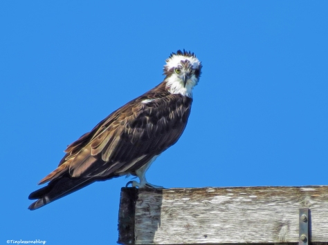 mama osprey at the nest UD31