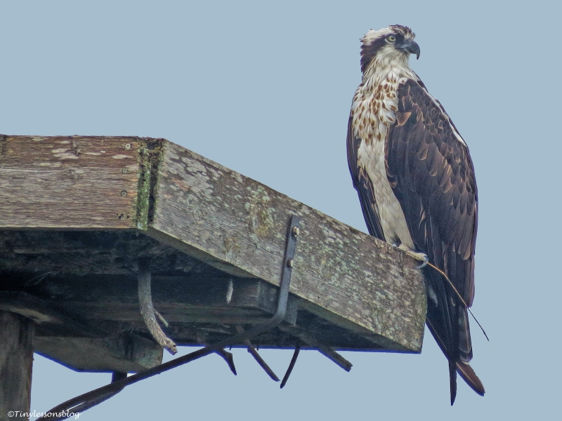 mama osprey checks on papa ud32
