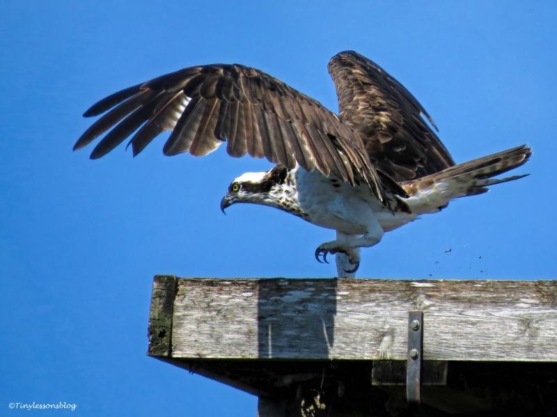 female osprey at her nest