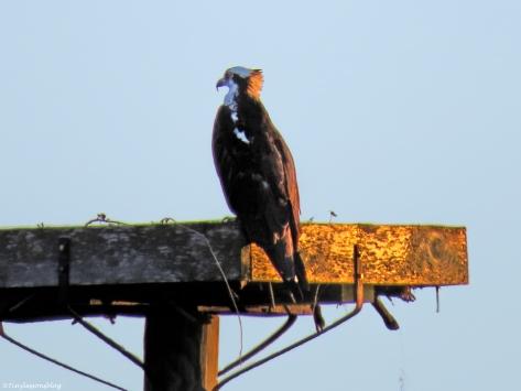 female osprey at sunset