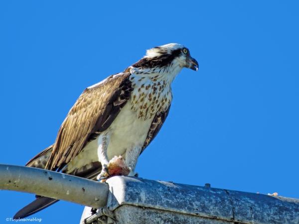 female osprey eats fish
