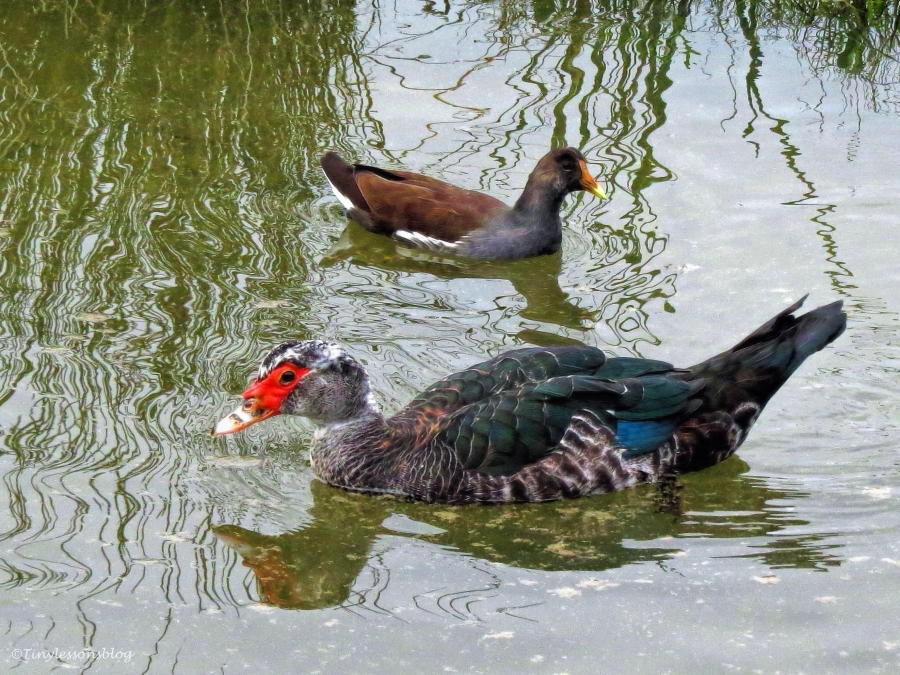 muscovy duck and moorhen