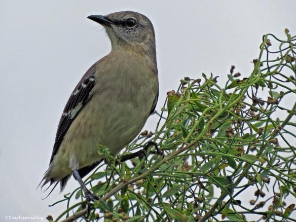 northern mocking bird ud32
