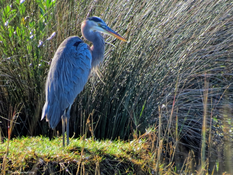 old great blue heron