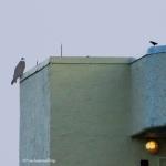 osprey at Marriott's roof