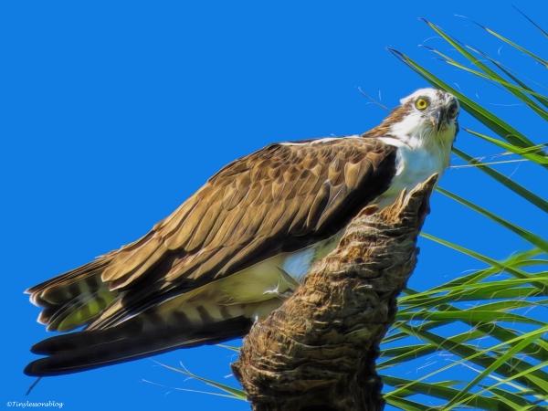 male osprey eating fish