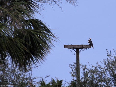 papa osprey sees mama at the nest ud32