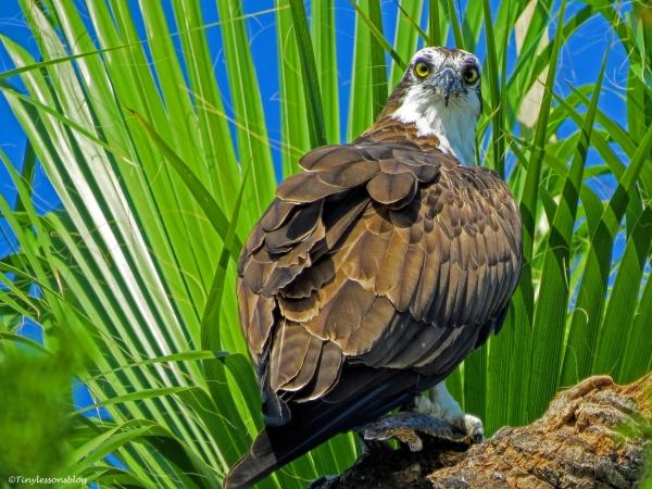papa osprey UD31