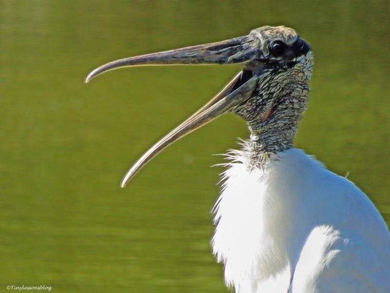 papa wood stork