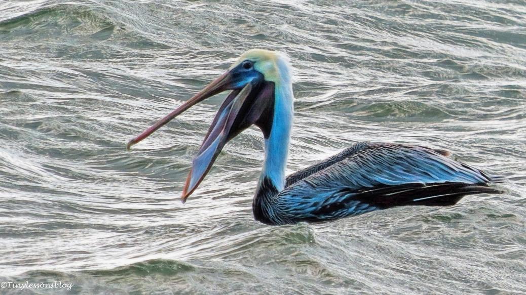 pelican eating ud32 16x9