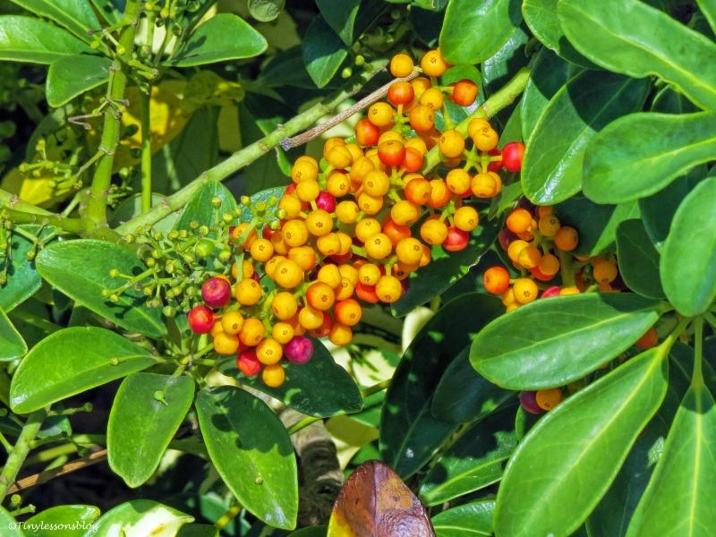 salt marsh berries ud31