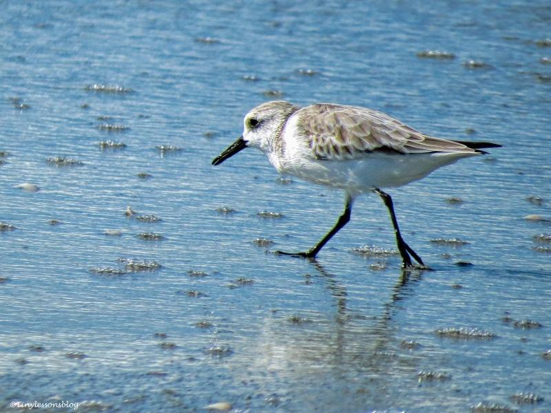 sanderling ud31