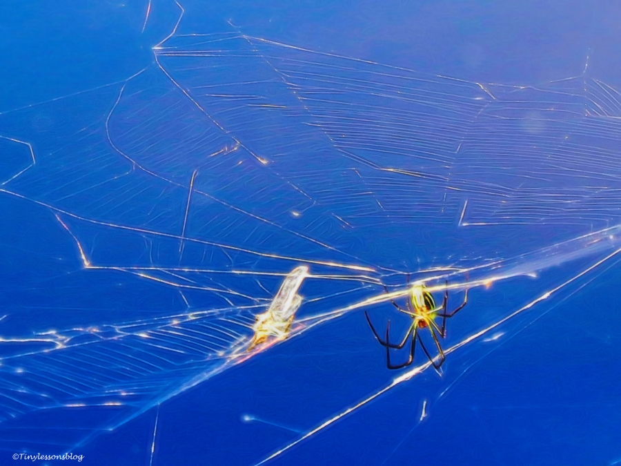 spider caught a dragonfly