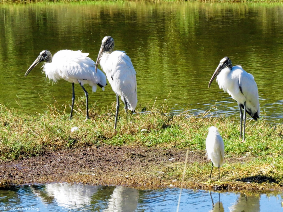 wood storks and a snowy egret