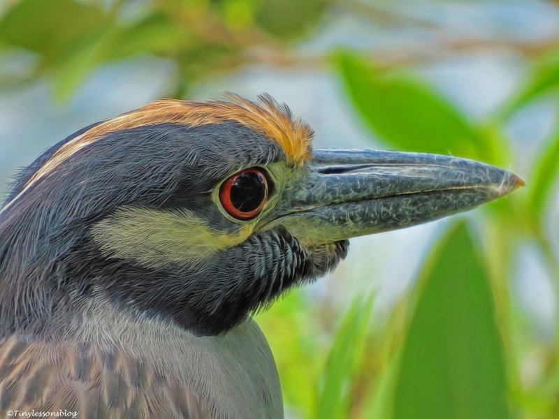yellow-crowned night heron ud32