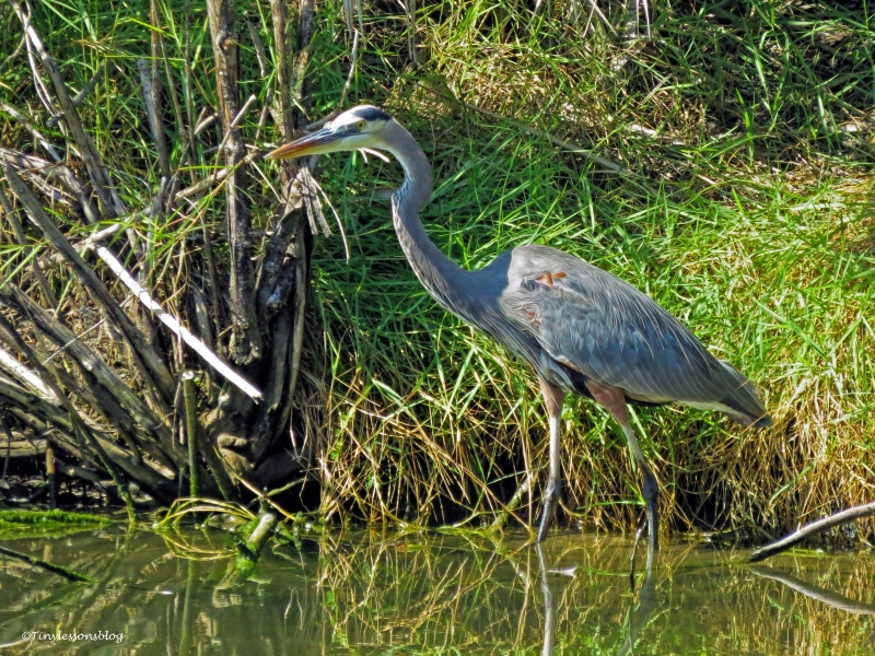 young blue heron ud31
